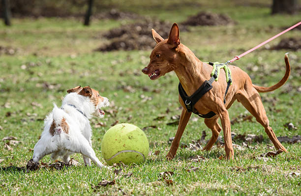 Pharaoh Hound dog attacks small Jack Russell Terrier dog Two dogs fighting for a toy ball aggressively stock pictures, royalty-free photos & images