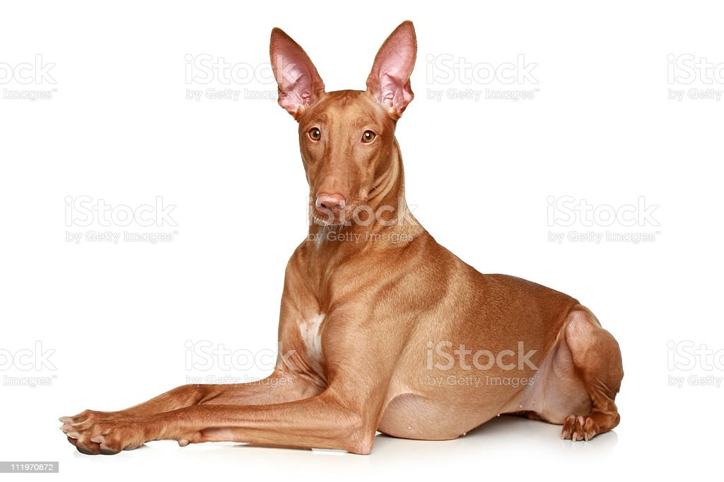 Pharaoh hound lying on a white background royalty-free stock photo