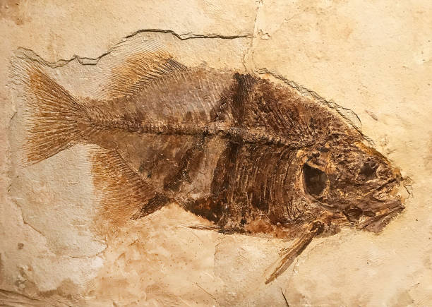 phareodus encaustus fossil fish - fossil stock photos and pictures