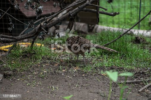 1065862132 istock photo Pheasant caught by hunters in a cage. An animal in nature or in a zoo. Stock photo 1221664271