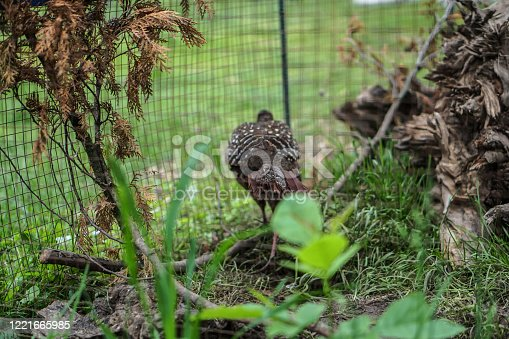 1065862132 istock photo Pheasant caught by hunters in a cage. An animal in nature or in a zoo. Stock photo 1221665985