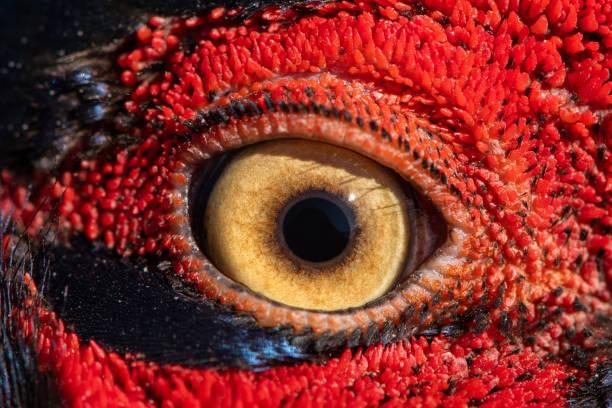 fasan öga närbild, makro foto, öga av ringnecked fasan hane, phasianus colchicus - djuröga bildbanksfoton och bilder