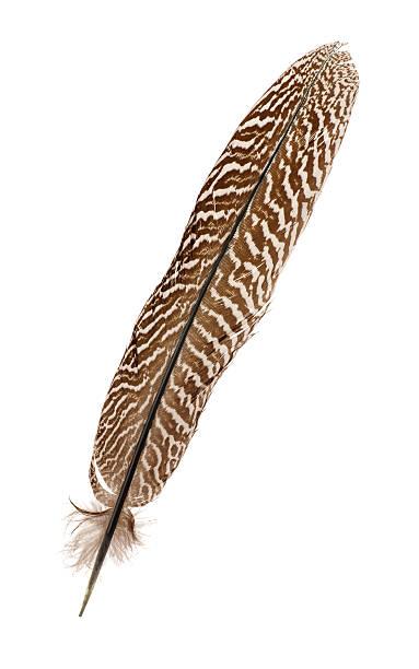 Pheasant feather stock photo