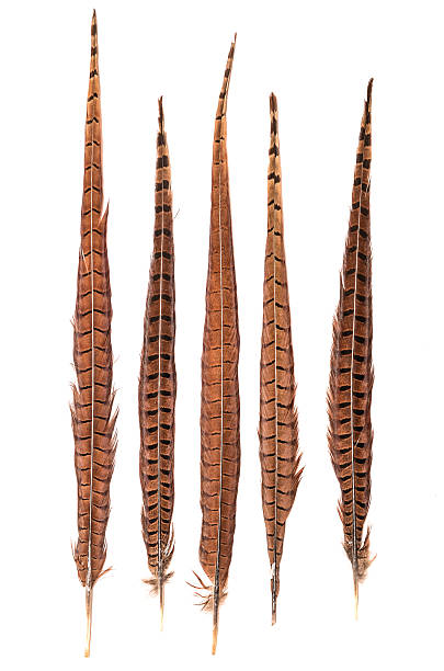 faisan plumes sur un fond blanc - faisan gibier à plume photos et images de collection