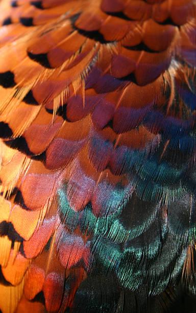 Pheasant feathers stock photo