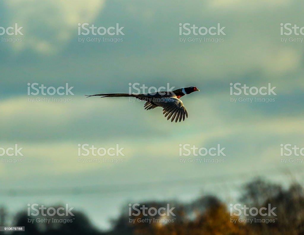 Pheasant flying away stock photo