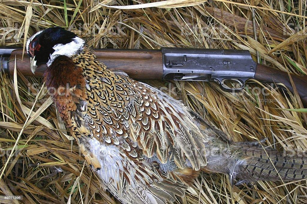 Pheasant Hunt royalty-free stock photo