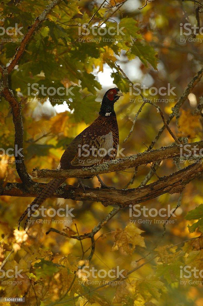 Pheasant in tree royalty-free stock photo