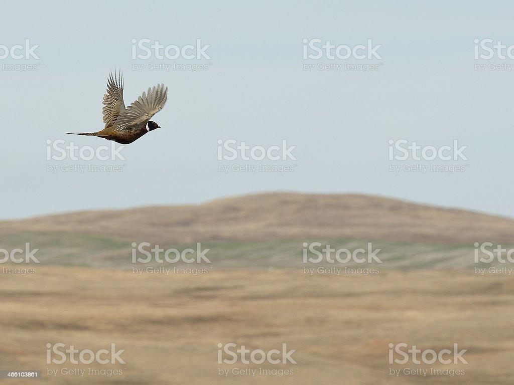 Pheasant over the prairie stock photo