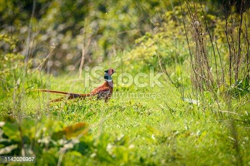 1065862132 istock photo pheasant 1142026957