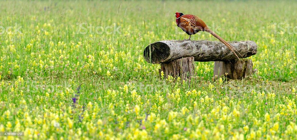 Pheasant (walking bird) stock photo