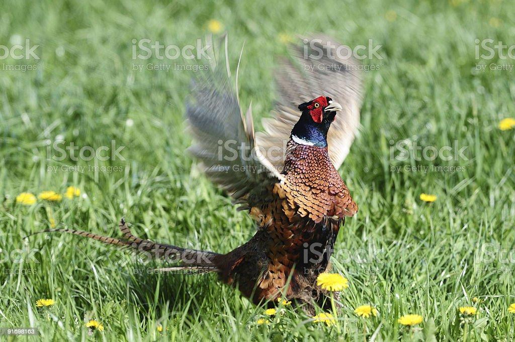 Pheasant royalty-free stock photo