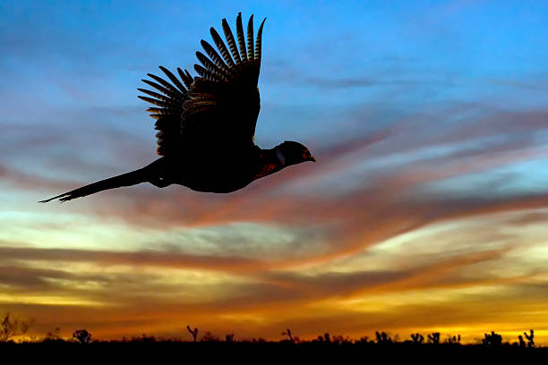 Pheasant Silhouette at Sunset A pheasant flys off into a firey sunset in the desert. san luis potosi stock pictures, royalty-free photos & images
