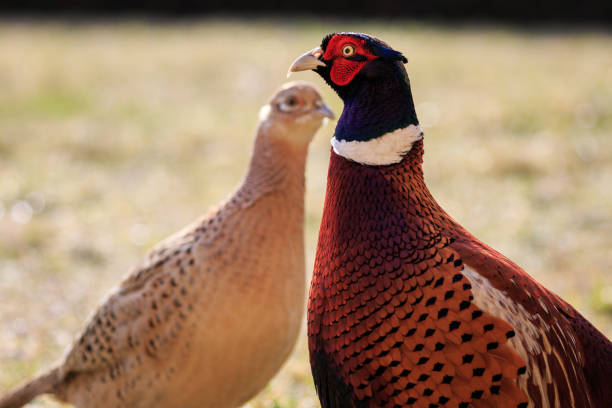 femelle et mâle de faisans - faisan gibier à plume photos et images de collection