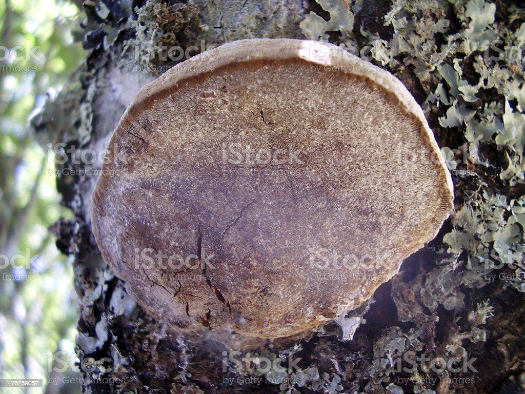 Phellinus Pomaceus Fungi royalty-free stock photo