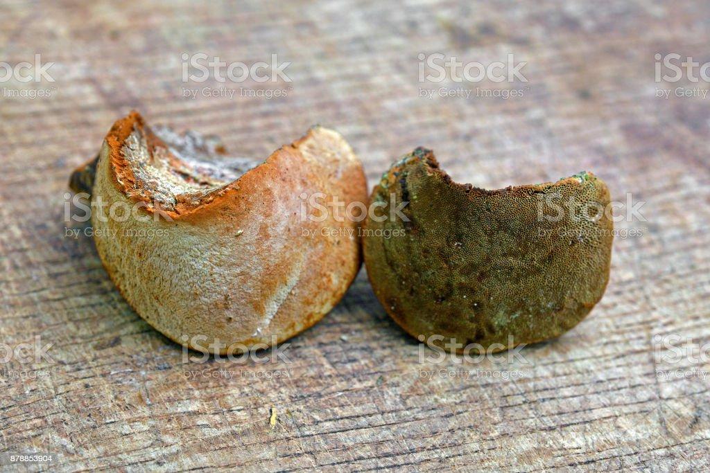 Phellinus pomaceus fungus stock photo