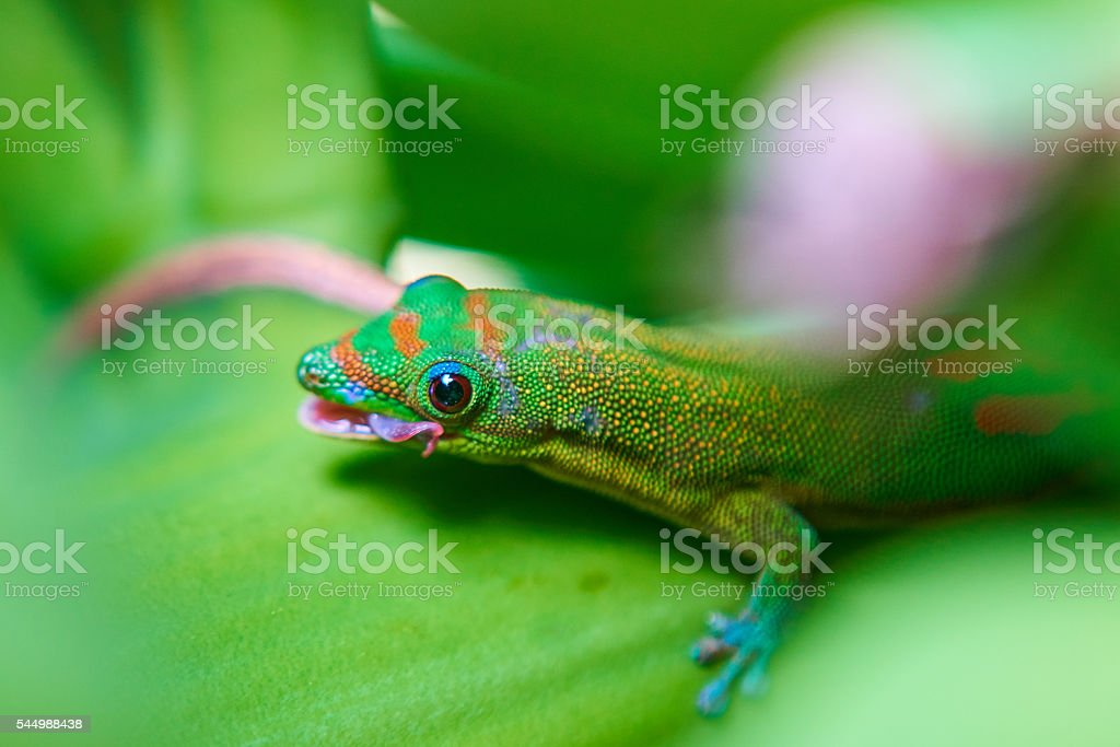 Phelsuma grüne Gecko auf Banana plant - Lizenzfrei Banane Stock-Foto