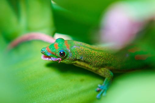 Phelsuma Grüne Gecko Auf Banana Plant Stockfoto und mehr Bilder von Banane