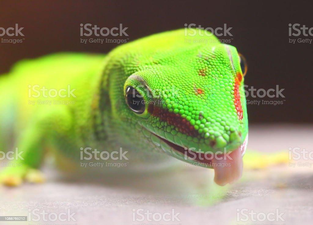 Phelsuma Madagascariensis ist eine Art von Tag Gecko. – Foto