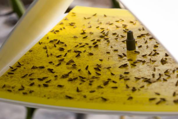 pheromon-falle mit gelben haftplatte gegen tuta absoluta - mottenfalle stock-fotos und bilder