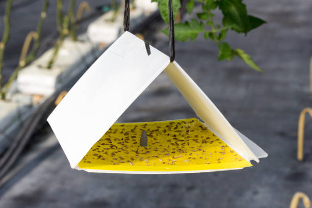 pheromone trap with yellow adhesive plate against tuta absoluta - trappola foto e immagini stock