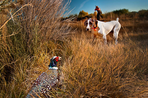 Phesant hunting dog on point stock photo