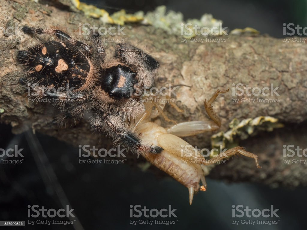 Phidippus regius female eating a spider stock photo