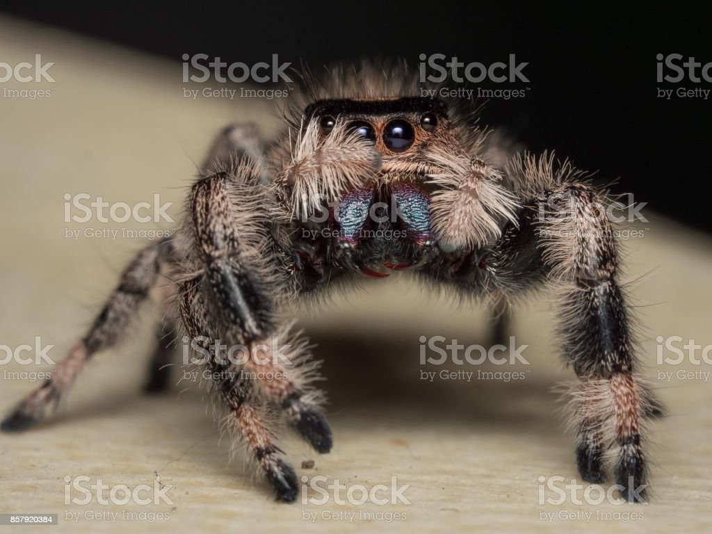 Phidippus regius female stock photo