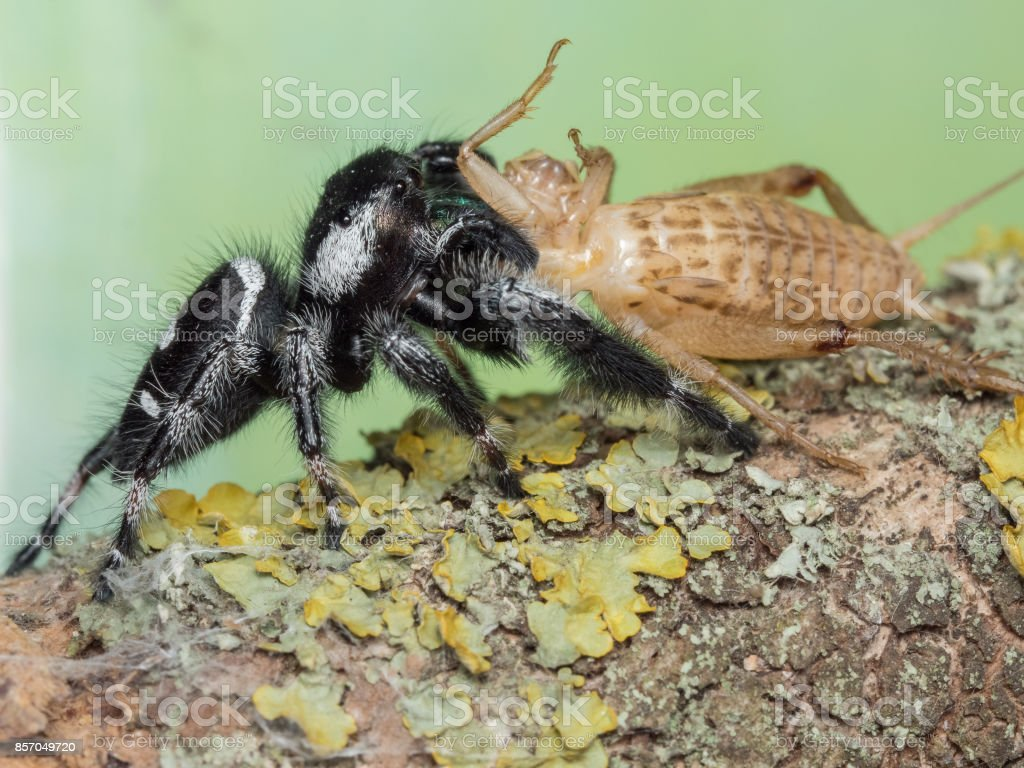 Phidippus regius male adult feeding on a cricket stock photo