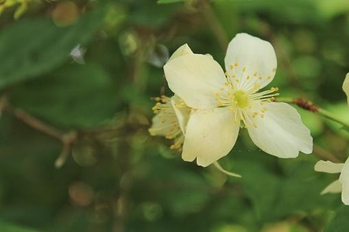 Philadelphus Coronarius plant in the garden