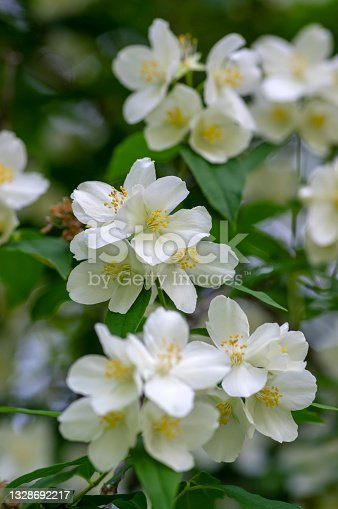 istock Philadelphus coronarius sweet mock-orange white flowers in bloom on shrub branches, flowering English dogwood ornamental plant 1328692217