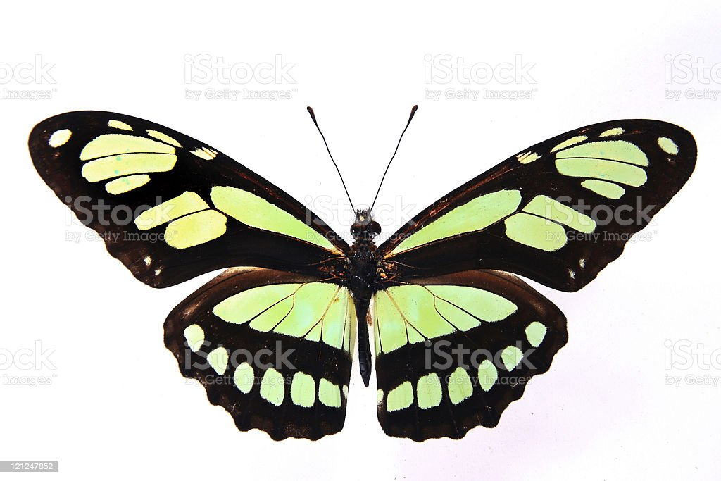 Philaethria dido:Dazzling colors of the butterfly royalty-free stock photo
