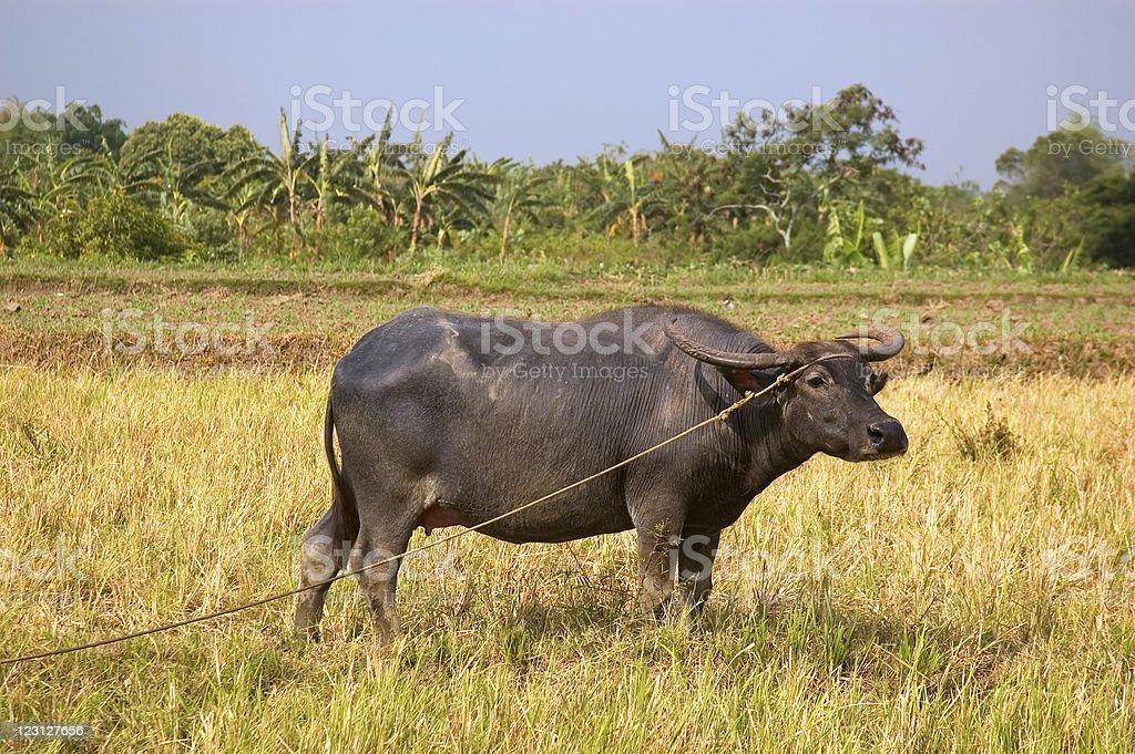 Philippine Carabao royalty-free stock photo