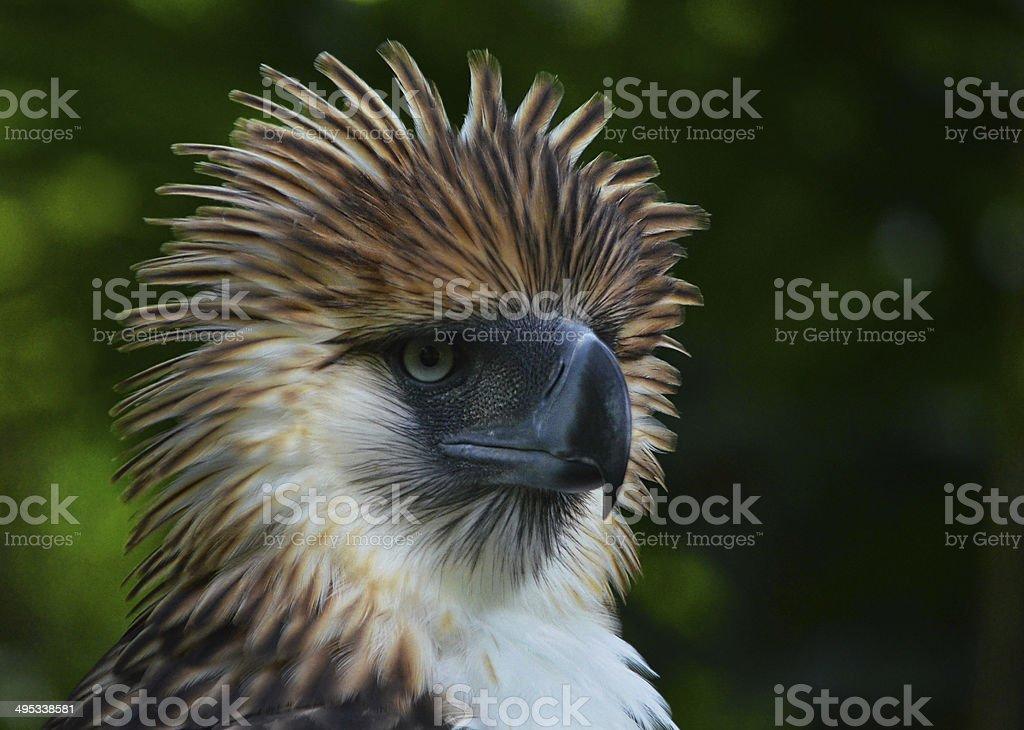Philippine Eagle royalty-free stock photo