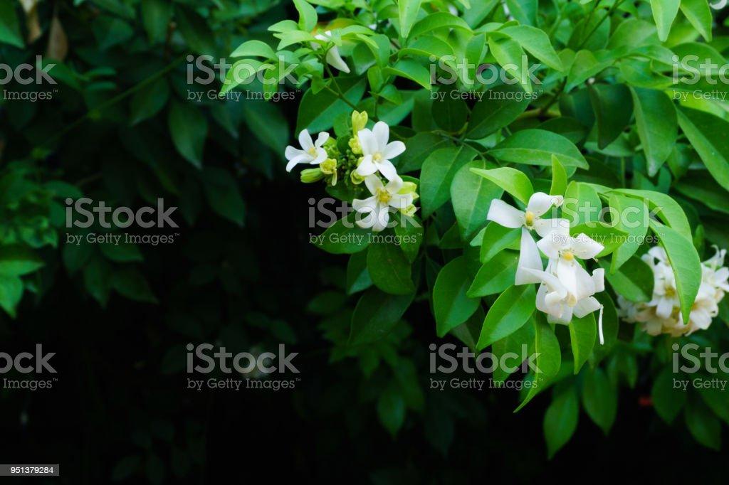 Philippine national flower is the gardenia flower glass or Sampaguita...