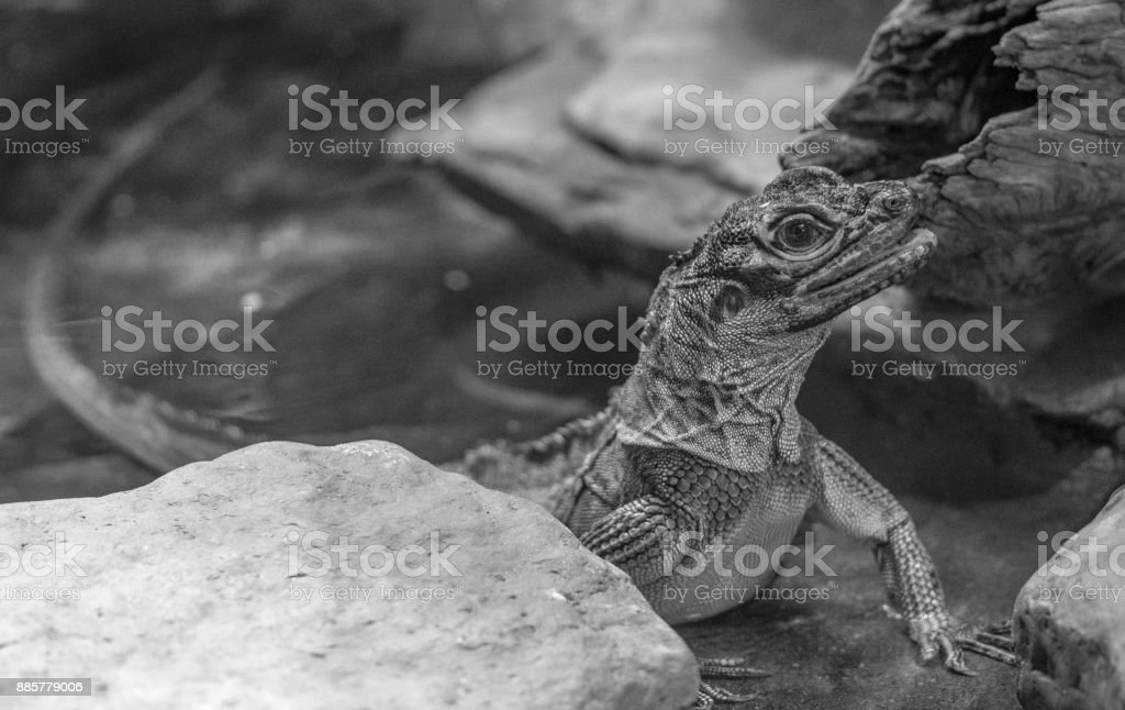 Philippine Sail-Finned Water Dragon stock photo