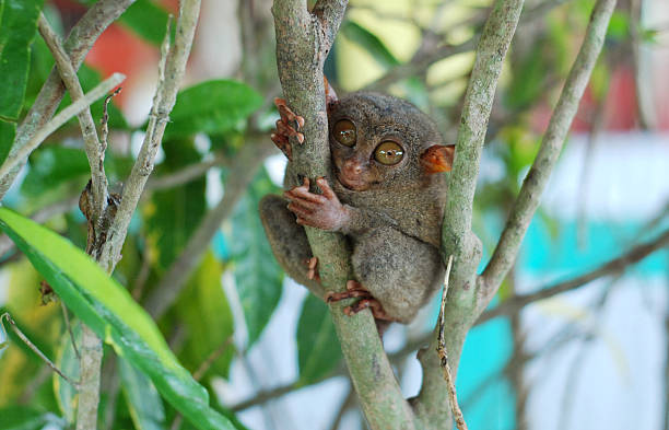 philippine tarsier in a tree - cebu stockfoto's en -beelden