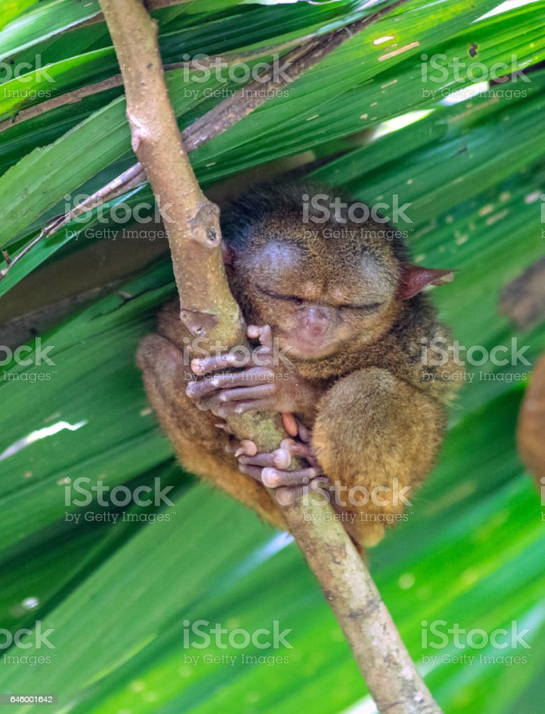 Philippinen-Koboldmaki – Foto