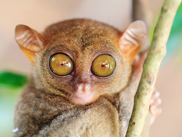Phillipine tarsier stock photo