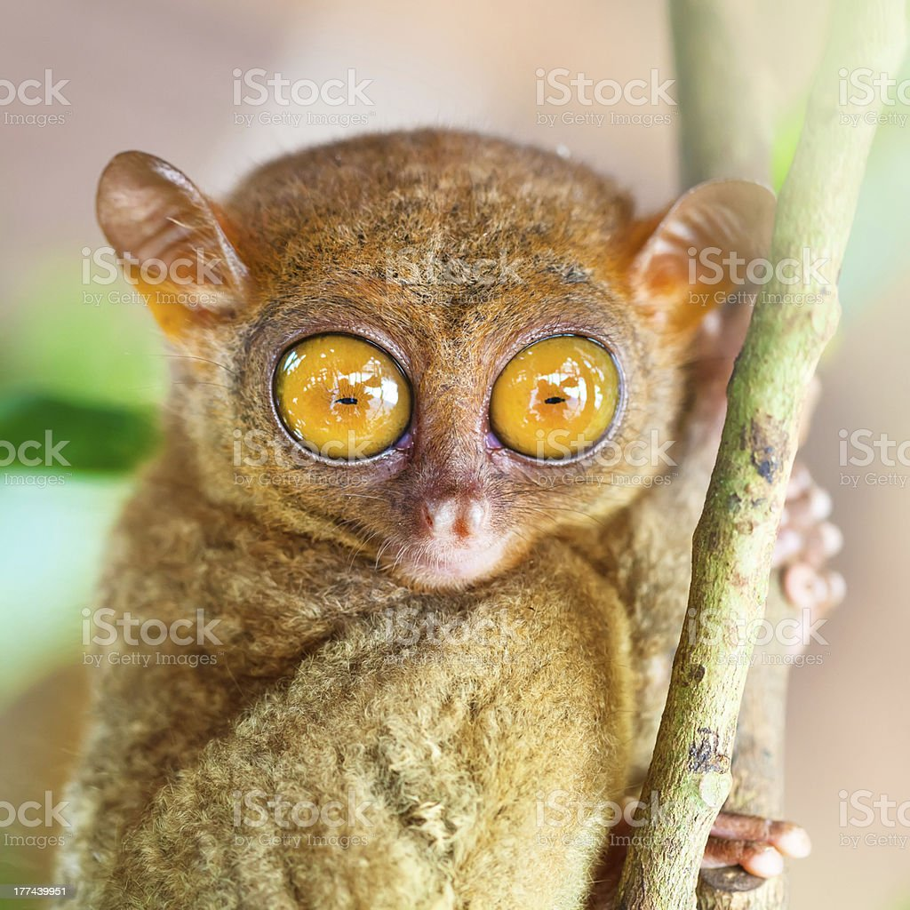 Phillipine tarsier stock photo