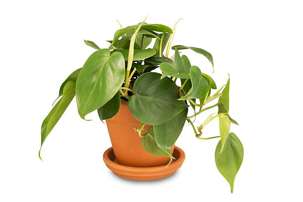 Philodendron in clay pot stock photo