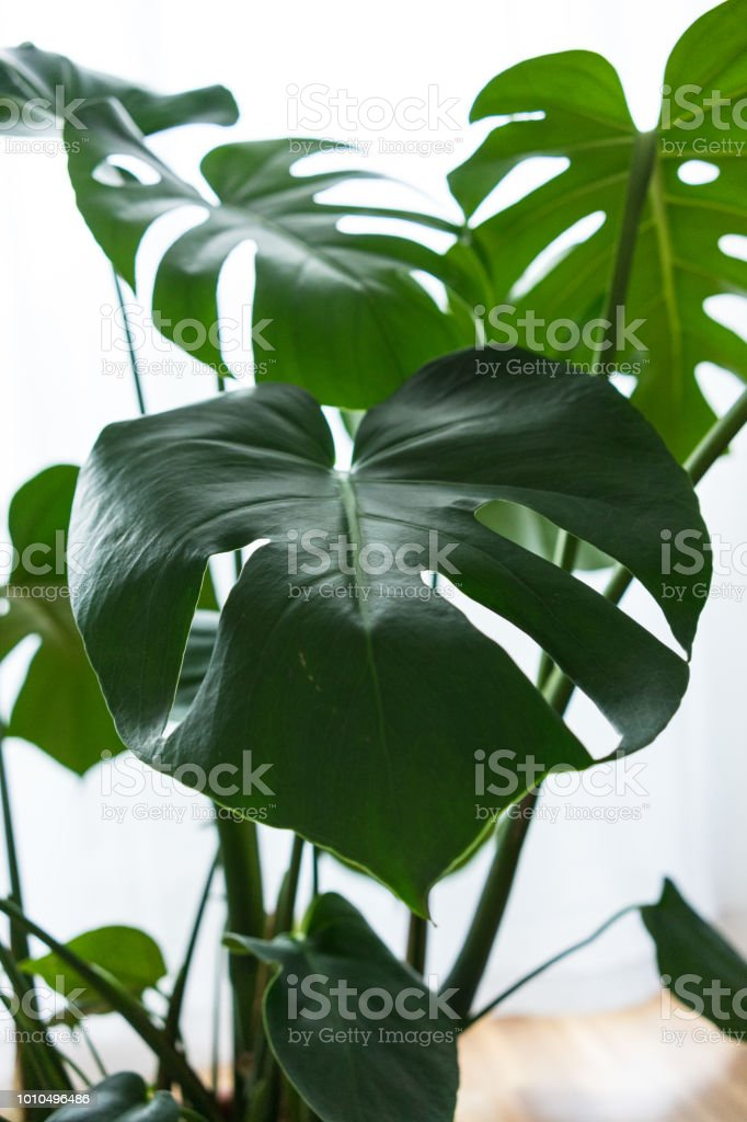 Awesome Philodendron Inside House Close Up Leaf Stock Photo Download Free Architecture Designs Scobabritishbridgeorg