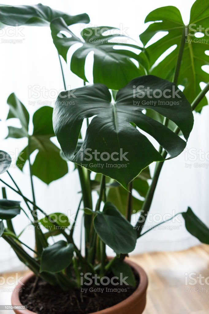 Pleasant Philodendron Inside House Close Up Leaf Stock Photo Download Free Architecture Designs Scobabritishbridgeorg