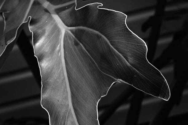 Philodendron leaf in sunny garden black and white stock photo