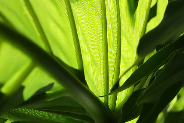 Philodendron Leaves stock photo