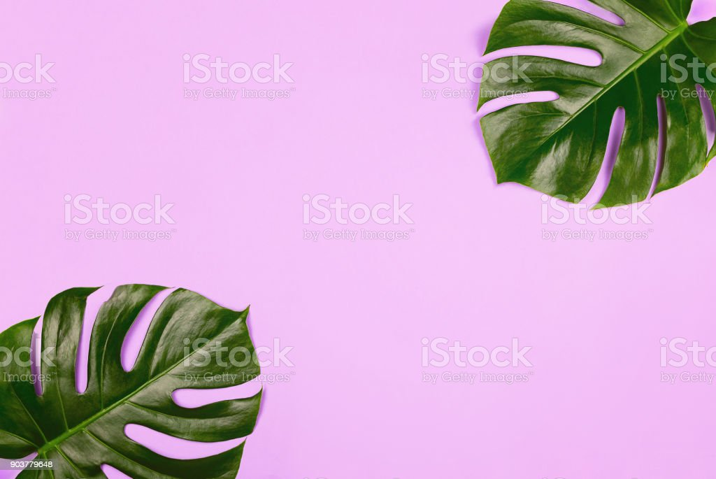 Philodendron monstera leaves on purple background. Tropical background, copyspace stock photo