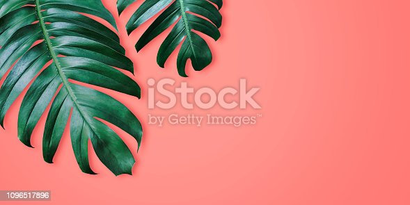 Philodendron tropical leaves on coral color background minimal summer
