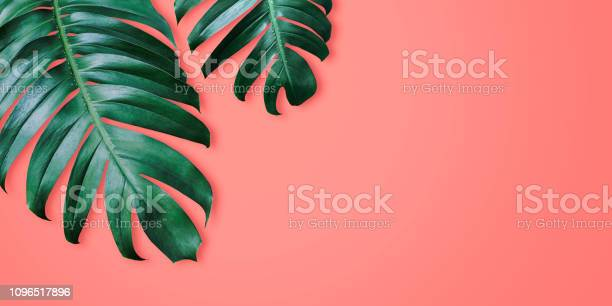 Philodendron tropical leaves on coral color background minimal summer picture id1096517896?b=1&k=6&m=1096517896&s=612x612&h=csb gwntigrertpyjxcczusskwoxyihhuion sauqre=