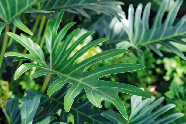 Philodendron Xanadu im Garten – Foto