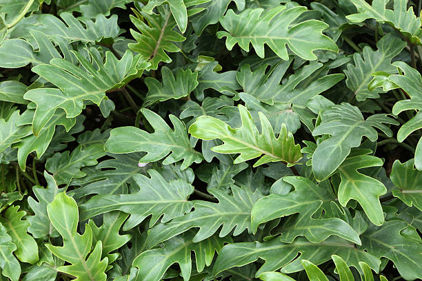 Philodendron Xanadu stock photo